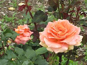 横-オレンジのバラ.jpg