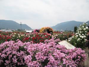 横-バラ園全景.jpg