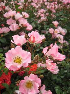 縦-ピンクのバラ.jpg