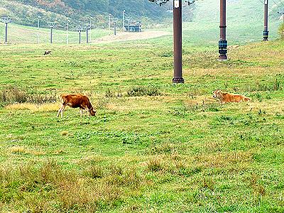 ジャージ牛放牧