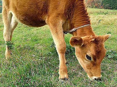 ジャージ牛