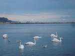 stockvault-swans-at-the-black-sea-coast140099.jpg