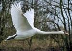 swan-73544_1280.jpg
